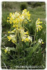 Primula veris 'Cowslip' [Ex. Lincolnshire, England] 300+ SEEDS
