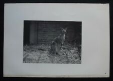Antique Print: Kangaroo Photograph from Wild Animals by J Fortune Nott, 1886