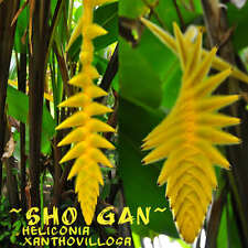 ~SHOGAN~ Heliconia xanthovillosa Collectors NEON YELLOW FLOWER 10 Heliconia Seed