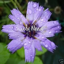 CUPID's DART (Catananche Caerulea) *Perennial* 25 Seeds