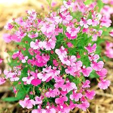 "Trailing Lobelia ""Fountains Rose"" x 200 seeds. Ask for combined postage"