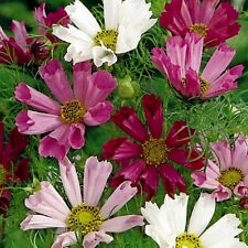 Pink Cosmos Seeds, Seashells, Heirloom Cosmos, Non-Gmo  Draws Butterflies 50ct