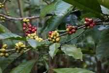 Coffea benghalensis BENGAL COFFEE Seeds!