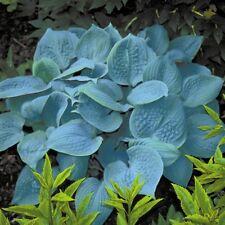 "hosta FRAGRANT BLUE medium lavender disease-free 3"" pot ☆1 Live Potted Plant☆"
