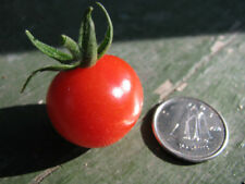 25 graines TOMATE PORTE-GREFFE PETIT MOINEAU(Sol. p.)K44 ROOTSTOCK TOMATO SEEDS