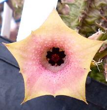 1 TALEA di Huernia rosea LAU11269 no stapelia orbea caralluma pseudolithos