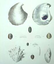 Fruits di mare Conchiglie Soprammobile ristorante Conchiglia Litografia 19esimo