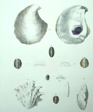 Fruits del mar Conchas Decoración restaurantes conchas Litografía siglo XIX