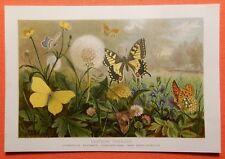 Deutsche Tagfalter Schmetterling Schwalbenschwanz Kaisermantel Lithographie 1892