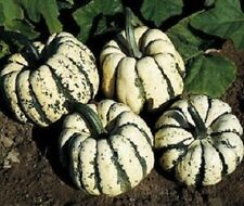Squash Seeds Sweet Dumpling Winter Squash 50 Seeds 110 DAYS