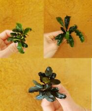 Planta de acuario,gambario LOTE Bucephalandra THEIA,THEIA GREEN Y GREEN VELVET