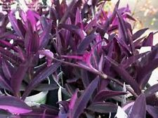 10 Healthy Long Cuttings Purple Tradescantia - Wandering Jew- Gorgeous Color!