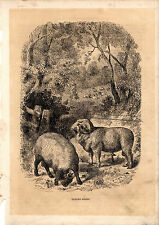 Cassell'S Mammals - Merino Sheep Rams - 150 Years Old Wood Engraving