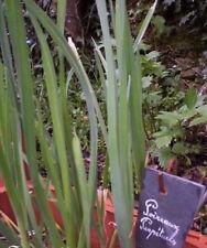 ♫ POIREAU 'Perpétuel' - Allium ampeloprasum ♫ Graines ♫ Ple Potagère Gustative ♫