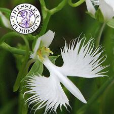 Raro paloma blanca flor de la orquídea, japonés radiata - 10 semillas-vendedor de Reino Unido