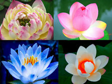 40 seeds of Lotus Flowers Blue Pink Gold White Nelumbo nucifera Aquatic Plants