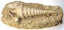 Fossil riesenturmschnecke CAMPANILE GIGANTEUM eozän 50 miio ans top réception