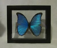 Framed large size colorful Amazonian butterfly - Morpho Didius in black frame!