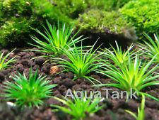 Eriocaulon randomly mixed species 30 seeds !!! Live Aquatic Aquarium Plants