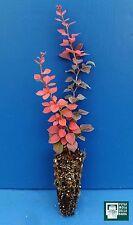 BERBERIS THUNBERGII ATROPURPUREA alv Pianta Plant Crespino rosso red barberry
