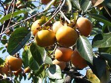 Kakipflaume Kakibaum 10 Samen - Diospyros kaki - Sharonfrucht frosthart 10 Samen