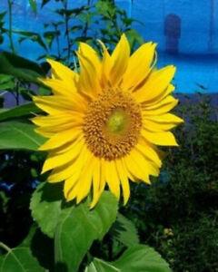 60 semi di Girasole Gigante, bellissimo fiore alto sino a 4 metri + SPEDIZIONE G