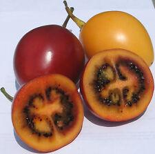 9 Semillas - Raro Árbol de los Tomates - Cyphomandra Betacea - Solanum Betaceum
