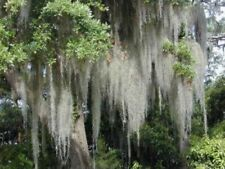 Spanish Moss, Hand-Picked, Gallon Bag, Decorative Uses, Crafts, Orchid Plants