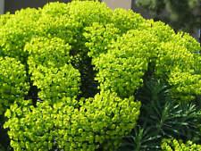 SPURGE, MEDITERRANEAN - 2 live PLANTS - Perennial Green Flower - GroCo Plants=