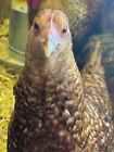 5+ German Bielefelder (Gold) Hatching Eggs NPIP/AI Clean