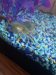 Marbro blue self cloning crayfish babies for sale soon
