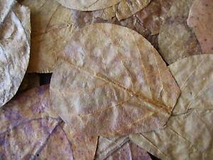 20 x  NANO Indian Almond Leaves ( Catappa  ),  7 - 9cm , Shrimp , Black Water .