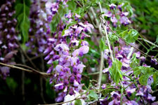 7 Pink New Jersey Japanese Wisteria Seeds Fence Climbing Flower Perennial Rare