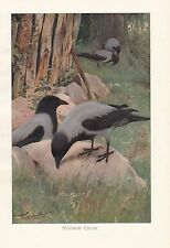 c1914 NATURAL HISTORY PRINT ~ HOODED CROW ~ LYDEKKER