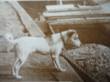 De Reszke Cigarette Card Who Said Rats - Terrier Dog  PHOTO J.Millhoff London