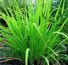Essential Oil Palmarosa - Cymbopogon Martinii Pure and Natural 50 ML