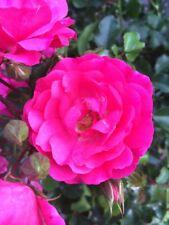 10x Bodendecker winterhart Bodendeckerrose Noatraum öfterblühend robust pink