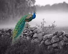 Blue Green Gray Peacock  Art Photo Print Wall Art Home Decor Picture w Mat