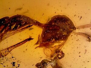 RARE Cretaceous Burmite Amber Fossil Haidomyrmex Hell Ant SA1 0.86g