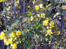 CASSIA CORYMBOSA 30 semi seed semillas Flowery Senna