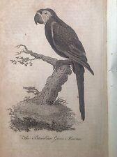 The Brasilian Green Maccaw , Antique Bird Print 1804, Rare
