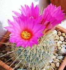 Thelocactus macdowellii, rare echinocactus exotic succulent cactus seed 15 SEEDS
