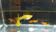 5 Pair of Super Red Endlers Fish