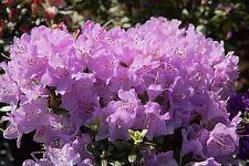 9cm Pot Dwarf Rhododendron Snipe Large Pink Flowers Shrub Plant