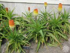South Africa Kniphofia Northiae * Torch Lily * Tritoma Plant 5 Seeds * Very Rare