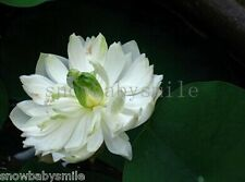 10 White Swan Bonsai Lotus Seeds Bowl Nelumbo Nucifera Pond Aquarium Flower NEW