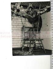 Original Pressefoto: 1954 Zoo de Londres Famous Chimpanzee Tea Party-Paul Popper