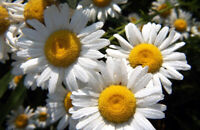 2000+ Samen Chrysanthemum leucanthemum - Wiesen-Margerite , Margerite