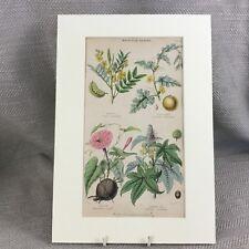 Antique Botanical Print Original Hand Coloured Jalap Plant Flower Medicinal