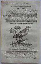 Ringdrossel (Turdus torquatus) ORIG madera corte 1555 Belon ornitología
